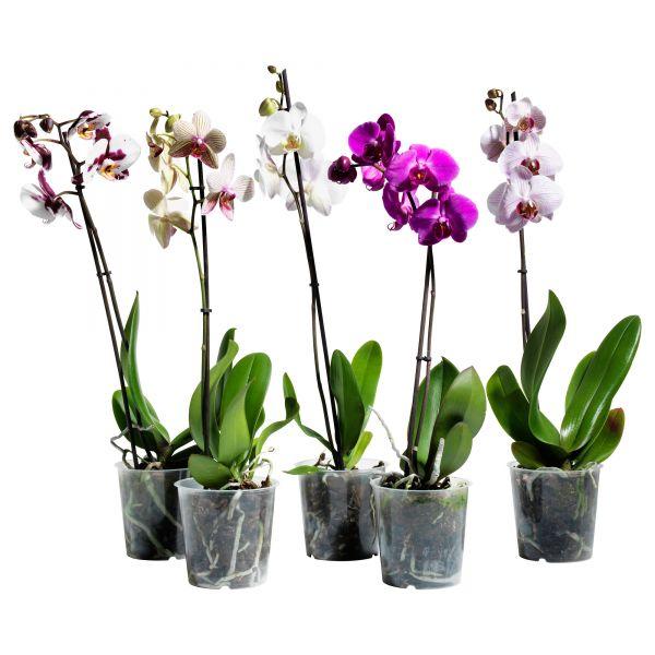 Орхидея в горшке цветы